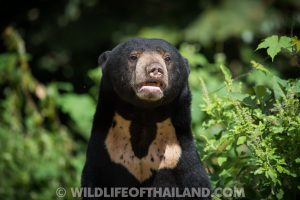 Chest marking of Sun Bear (Helarctos malayanus)