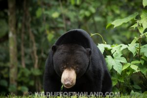 Ears of the Sun Bear (Helarctos malayanus)