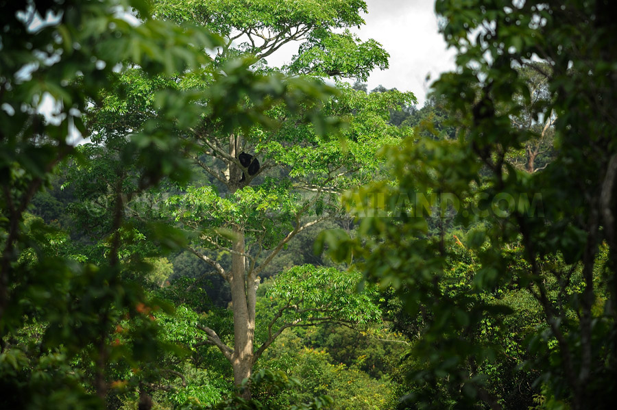 Asian Black Bear, Ursus thibetanus in a tree