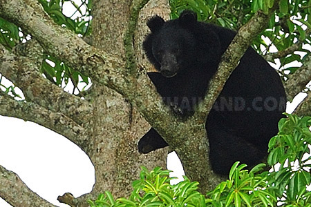 Asian Black Bear, Ursus thibetanus