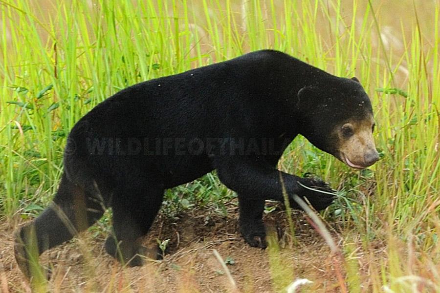 Malayan Sun Bear, Helarctos malayanus