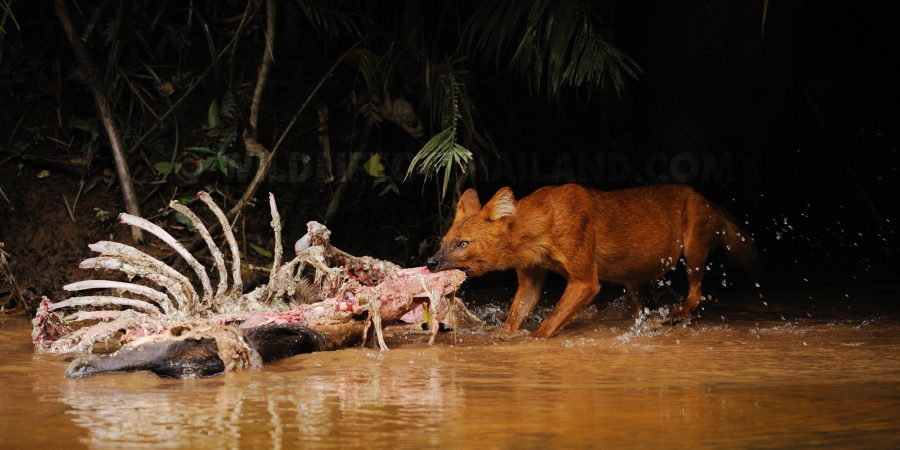 Dhole in Khao Yai
